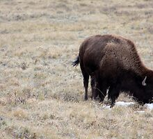 Bison by Alyce Taylor