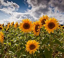Moody sunflowers by Kane Young