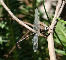 Tired Old Mountain Darner by Norman Mueller
