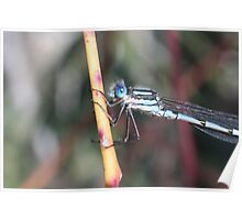 Damselfly Blue Poster