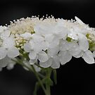 Lace In The Rain by Tracy Wazny