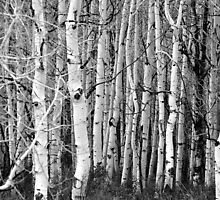 Aspen in Black and White by R. Mike Jacobson