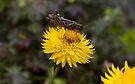 Grasshopper by Elaine  Manley