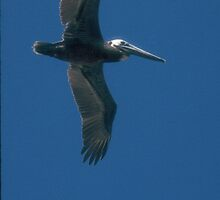 Brown Pelican flying by Larry  Grayam