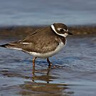 Semipalmated Plover by Jim Cumming