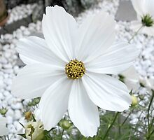 cosmea by Ianua