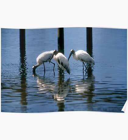 Wood Stork trio Poster