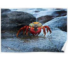 Sally Lightfoot Crab in the Galapagos Islands Poster