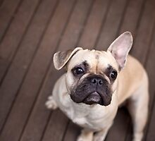 Mila the French Bulldog by ruthlessphotos