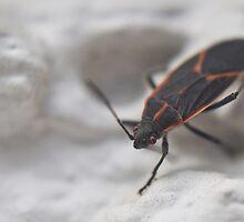 box elder bug by jude walton