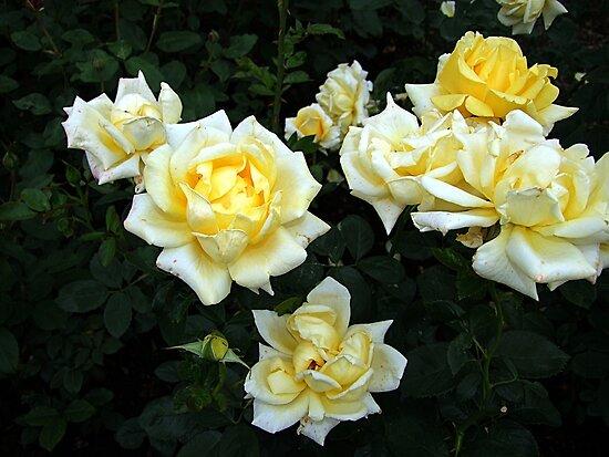 Berolina Rose by George Cousins