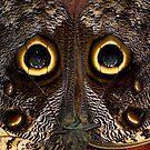 Owl Butterfly, Caligo by Guy C. André Tschiderer