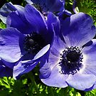 Two Blue Mauve Anemone - Close Up Windflowers by taiche