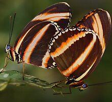 Best Butties - Orange Tigers by John Absher