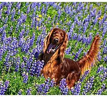 Wild in the Lupine Photographic Print