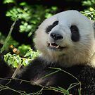 Panda Joy by Ann  Van Breemen
