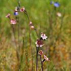 Sun Orchids  by Rosie Appleton