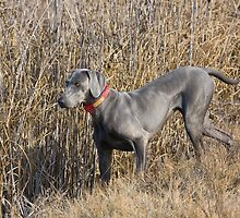 Weimaraner in Field by Leslie Nicole