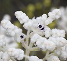 Popcorn bush 1 by Philip Cannon
