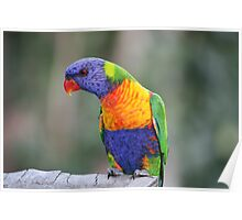 Rainbow Lorikeet   (Trichoglossus haematodus ) Poster