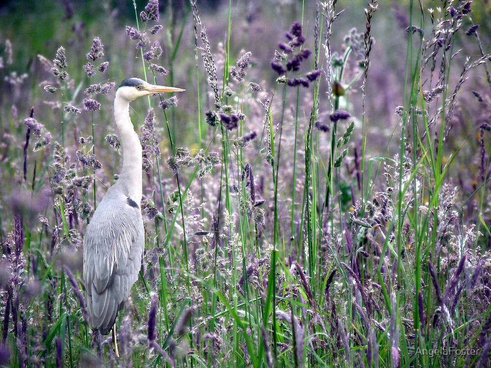 Heron in the grass by AngelaFoster