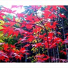 Red Autumn in New England. by Amphitrite