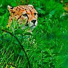 Cheeta by John Walsh, IRELAND