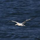 Gannet 2 by SWEEPER