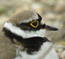Little Ringed Plover by woodlandninja
