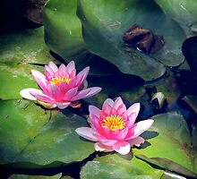 Pink Waterlillies by cryoflaughter