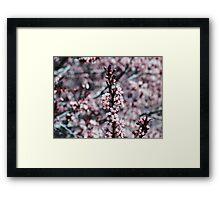 Spring......2009, Apple blossoms Framed Print