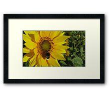 Sunflowers, Belgium Framed Print