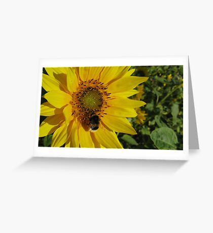 Sunflowers, Belgium Greeting Card
