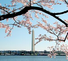 Washington DC - Cherry Blossom by bkphoto
