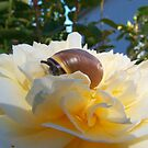 Snail on Rose by LOJOHA