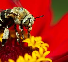 Honeybee macro on red by sedeer