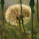 Dandelion by LOJOHA