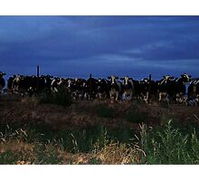 Just For Fun.......Cows of the Corn Photographic Print