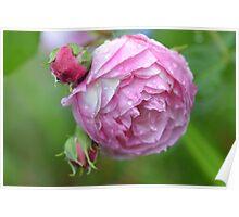 Droplet Rose Poster