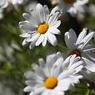Daisy 1 by Steven Carpinter