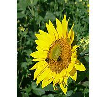 Fabulous Sunflower Photographic Print