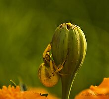 Spider In The Marigolds by kjerrellimages