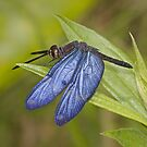 Ecuador Dragonflies and Damselflies by JimJohnson