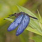 Zenithoptera lanei by Jim Johnson