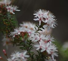 Prickly Tea Tree by garts