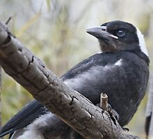 Baby Magpie 1 by Werner Padarin