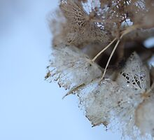 Winter Hydrangea  - JUSTART © by JUSTART