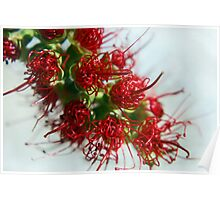 Bottlebrush Buds (Australian Christmas) Poster