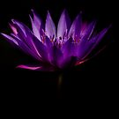 The Water Lily by HelenaBrophy