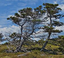 Taylor Head Trees by jaywhite